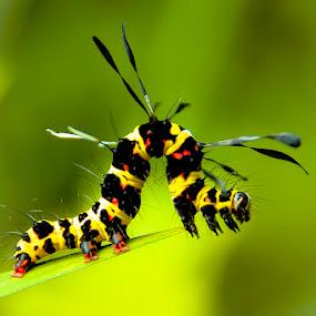 Caterpillar yellow by Hendrik Santoso Gutom - Animals Other