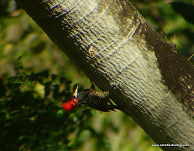 Photo: Pale-billed Woodpecker, Bioto Road