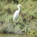 Little egret and Grey Eastern reef-egret