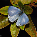 Mexican Azure