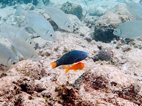 Photo: Thalassoma lunare (Lunare Wrasse) with a juvenile Parupeneus cyclostoma (Yellow Goatfish) that follows it around the reef, Miniloc Island Resort reef, Palawan, Philippines.