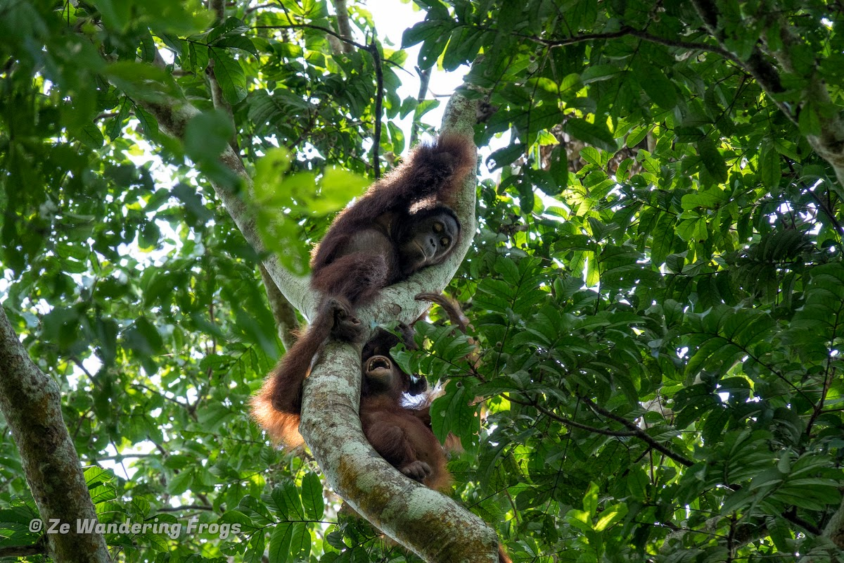 Indonesia. Borneo Kalimantan Orangutans. Mum orangutan with one-year old baby!