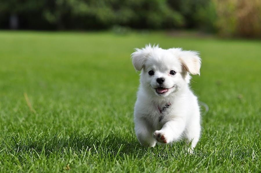 Baxter's Frolic by Chris Couper - Animals - Dogs Puppies ( playing, grass, puppy, cute, dog, running, pwcpuppies )