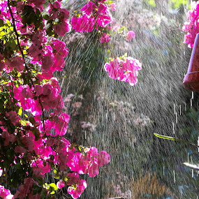 by Franco van Vuuren - Nature Up Close Water ( drops, pink, light, garden, rain )
