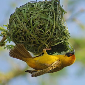 Building a nest by Elsa van Dyk - Animals Birds