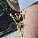 Santateresa, Mantis religiosa