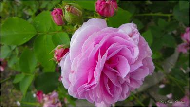 Photo: Trandafir (Rosa) din Turda - Piata 1 Decembrie 1918 - 2019.06.04