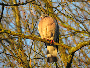 Photo: Priorslee Lake Wood Pigeon takes the morning sun: note one of the tail-feathers is being re-grown. (Ed Wilson)