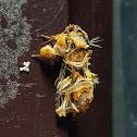 Hill Fern Moth