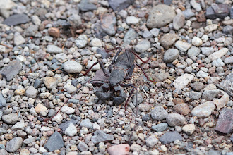 Photo: Scorpion (tailless)