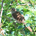 Common Nightingale; Ruiseñor común