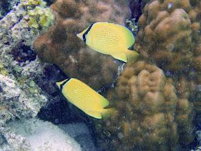 Photo: Chaetodon citrinellus (Speckled Butterflyfish), Naigani Island, Fiji