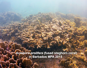 Photo: This is a good news story about corals for a change!  Corals in the genus Acropora, which contains close to 150 species, are major reef-building corals worldwide. There are only 3 species in the Caribbean. The elkhorn coral, Acropora palmata, is among the 2 or 3 most important reef-building species. It was largely killed off in Barbados by the mid 1900s, due to sedimentation. Acropora cervicornis, the staghorn coral, was abundant at about 30 ft depth on the west coast when I attended a field course at the Bellairs Research Institute in 1966, but with A. palmata, died off through most of the Caribbean in the early 1980s due to a disease. I never saw either species here in visits and snorkelling ventures from the late 1980s though to 2012.*  So I was very surprised on one of my first snorkel outings during a 3 month visit to Barbados in 2015 to encounter a perfect little colony of A. palmata! I wrote a government biologist about it and she told me that they has seen a few on the west coast, but they seem to stop growing early on. A month or so later, I was thrilled to see several patches of living A. cervicornis near to a popular wreck site In the Recreational Zone of the Barbados MPA (Marine Protected Area) in about 30 feet of water. More snorkelling revealed only one more A. palmata in the area, and no other areas of A. cervicornis. I hadn't explored much in the shallower reef flat areas, but when I did, I made an even more surprising discovery: numerous, healthy colonies of A. prolifera, a hybrid between A. palmata and A cervicornis! Moreover, they recalled some of the beauty I had encountered swimming over Acropora sites in the Grenadines in the 1960s. A little literature research made me optimistic that Barbados reefs could host a lot more of the hybrid species in future - with a little help to ensure that conditions are favourable for such an outcome.  Acropora prolifera was recorded in Barbados historically (http://discover.odai.yale.edu/ydc/Record/29446