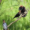 Brown-headed Cowbird (3 males)