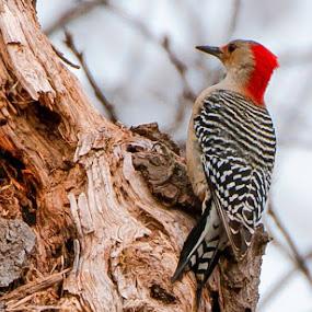 by Patti Cooper - Uncategorized All Uncategorized ( red bellied woodpecker,  )