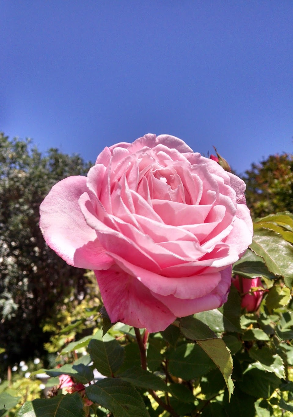 pink rose against blue sky