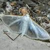 Jasmine moth