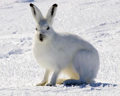 Arctic Hare Live Wallpaper