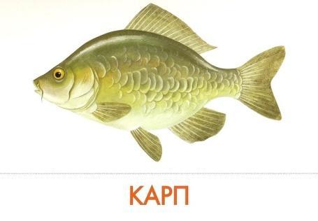 Image result for картинка для детей речные рыбы