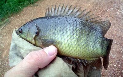 Ikan Puyu