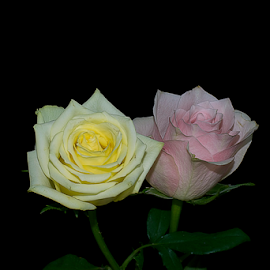 beauiful roses by LADOCKi Elvira - Flowers Flower Arangements ( rose, nature, flowers, garden )