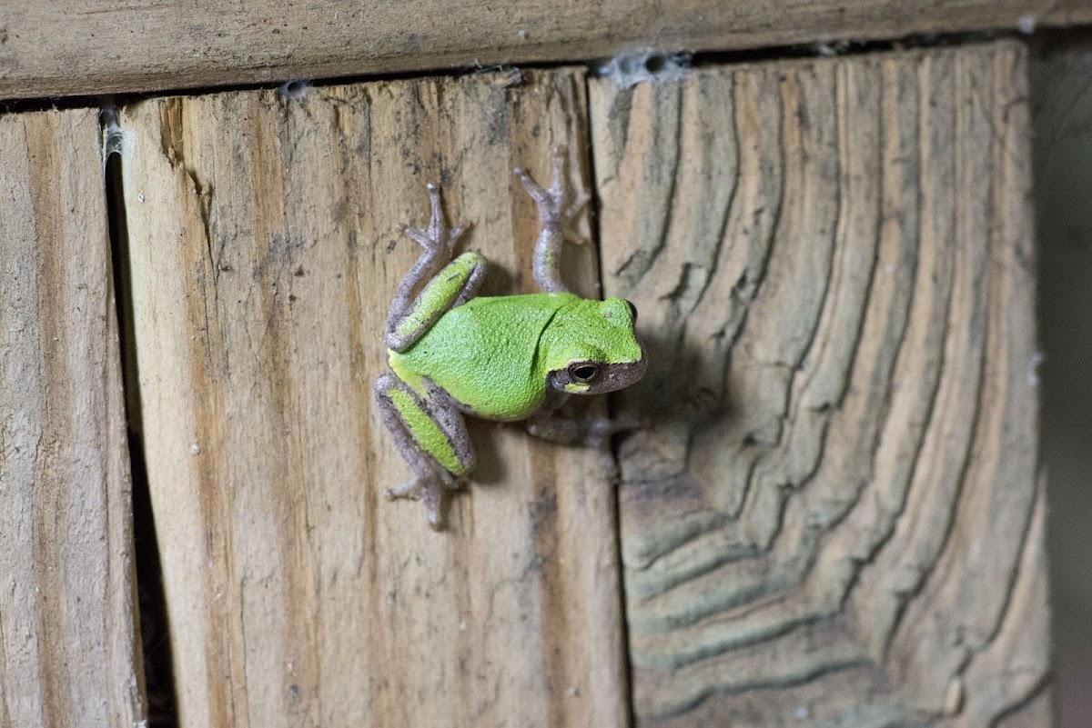 Bird-voiced Treefrog
