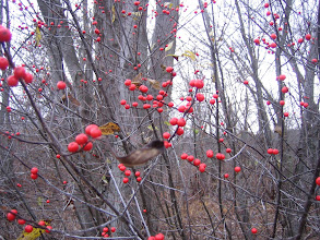 Photo: Winterberry