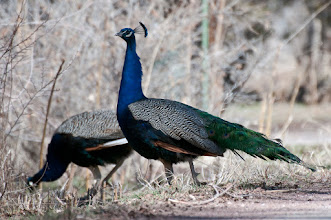 Photo: Peacocks in the road; we saw these birds on a side road as we were driving through Nambe on the way to Rancho de Chimayo