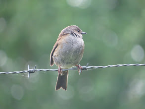 Photo: 3 Jul 13 Priorslee Lake: Nothing special about this: just a portrait of an adult Dunnock. (Ed Wilson)