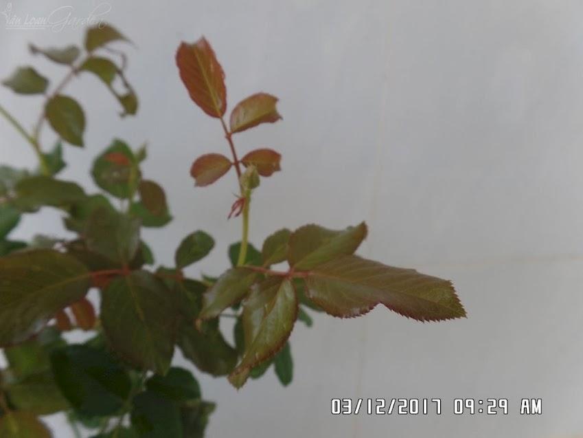 Rìa lá hồng Masora uốn lượn mềm mại, không giống như hồng Salmanasar rose có lá to tròn, cứng cáp.