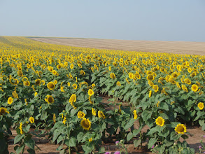 Photo: On July 23, we took a bus tour to Varna on the Black Sea, passing fields of sunflowers - an export crop for cooking oil and bio-fuel.