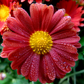 Dew drops on Jinia.... by Gautam Tarafder - Flowers Single Flower (  )