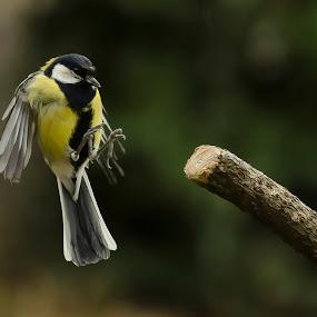 Braking by Stane Gortnar - Animals Birds ( , bird, fly, flight )