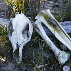 Eastern Grey Kangaroo (skeletal remains)