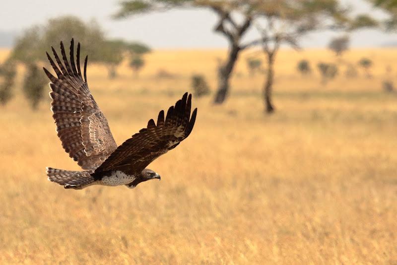 Aquila Marziale Tanzania di Sgheno