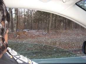Photo: a deer outside and near the road