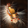 Rusty Tussock Moth Caterpillar