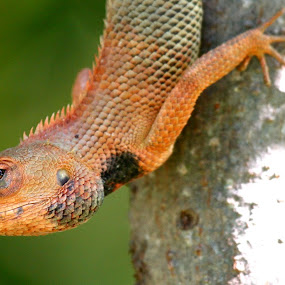 chamaleon by Arun Baweja - Animals Reptiles
