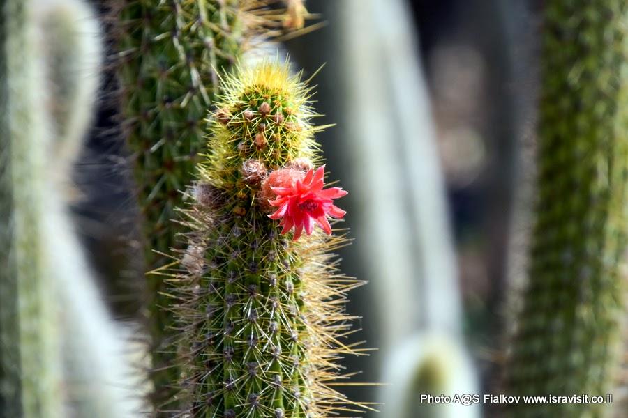 Цветущий кактус. Сад кактусов в парке Яркон Тель-Авива. Фото гида в Тель-Авиве Светланы Фиалковой.