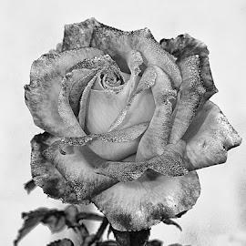 Epanouissement by Gérard CHATENET - Black & White Flowers & Plants