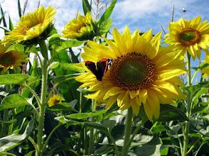 Photo: Riesige Maisfelder säumten unseren Weg zur Aussichtsplattform Huvenhoopsmoor. An deren Rändern standen oft Sonnenblumen.