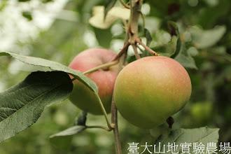 Photo: 拍攝地點: 梅峰-蘋果園  拍攝植物: 蘋果  拍攝日期:2012_07_30_FY