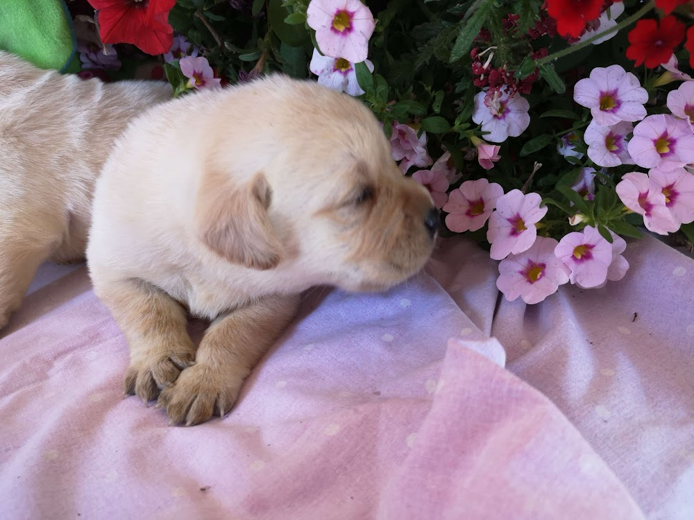 D'adorables chiots Labrador sont disponibles !
