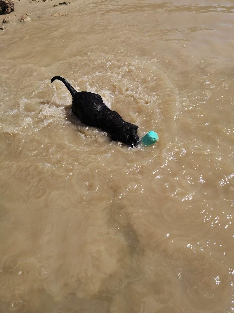 Première baignade pour nos petites Labradors