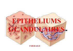 Diapo Epithéliums Glandulaires.pdf