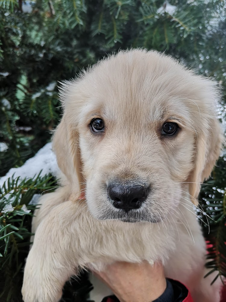Adorable bébé golden mâle à adopter