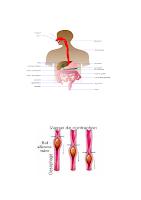 1- La phase bocco-oesophagienne_ physio digestive.docx