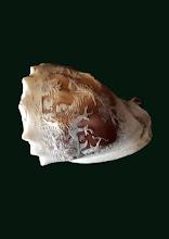 Cochilie sidef sculptata - 76 - poza 2 - Galeria Anton