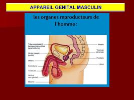 Appareil genital Masculin.ppt