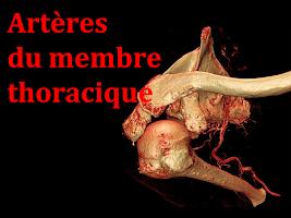artères membre thoracique (1).pptx
